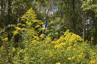 Giant Goldenrod Wildflower - Solidago Gigantea