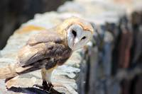 Barn Owl on a Ledge