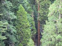 139 Pines in Sequoia National Park
