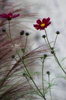 Cosmos on a Gray Day