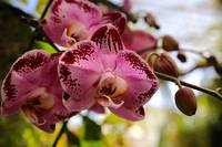 Dramatic Pink Orchid