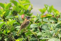 Rufous Collared Sparrow on a Bush