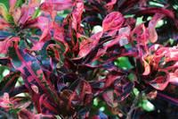 Curly Leaf Croton by Carol Groenen