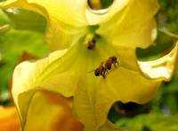 Datura and Bees