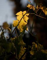 Backlit Grape Leaves