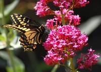 Swallowtail on Pink Flowers