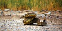 Rattlesnake With Tongue