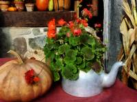 Teapot Filled With Geraniums