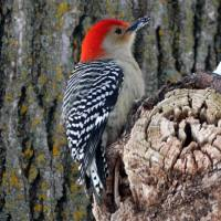 Red-bellied woodpecker Art Prints & Posters by Etched Memories Photo - Lori Tordsen