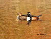 Hooded Merganser Couple