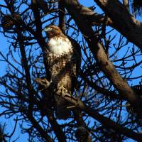 """""""Red-Tailed Hawk 3"""" by rubybgold"""