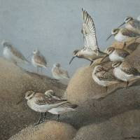 Resting Sanderlings 2 Painting Art Prints & Posters by Ezartesa Art