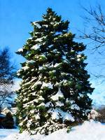 Evergreen in Winter