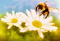 Bumble Bee on Daisies