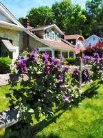 Purple Clematis on Rustic Fence