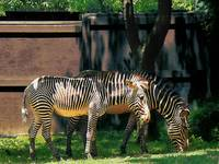 Zebras Having A Snack