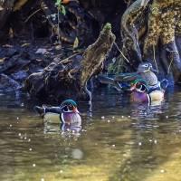 Wood Ducks in Cypress Swamp Art Prints & Posters by Warren Price