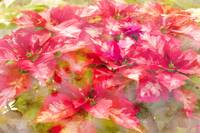 Poinsettias - I Love You to Abstraction