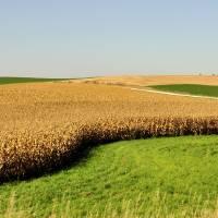 Corn Rows by Donnie Shackleford