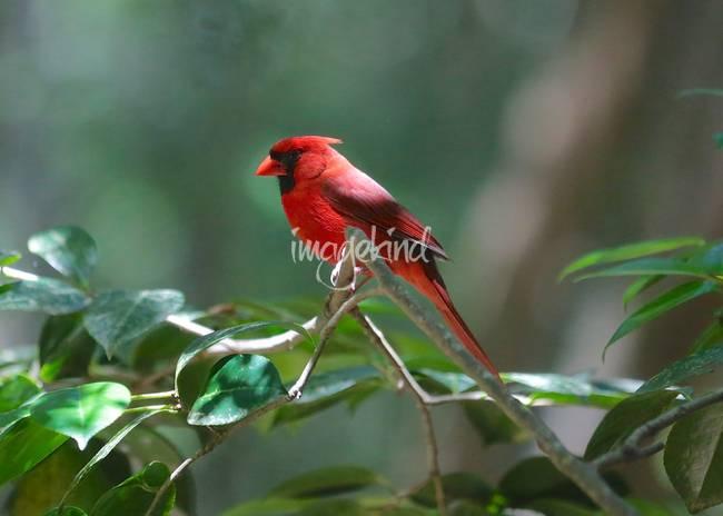 Florida Cardinal