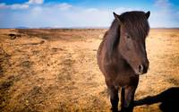 Icelandic Horse by Marcus Panek