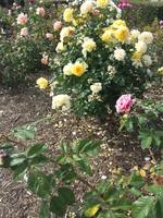 Yellow Rose Bushs