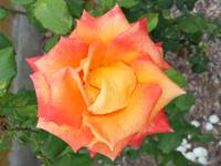 Orange and Yellow Rose