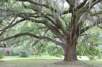 Strong Southern Tree by Carol Groenen