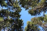 Forest Treetops by Carol Groenen