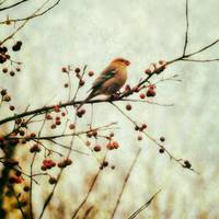 Vintage Pine Grosbeak
