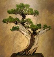 Asian Bonsai