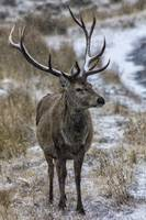Twelve Pointer Stag in the Snow