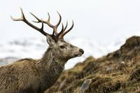 Red Deer Stag With Twelve Pointed Antlers