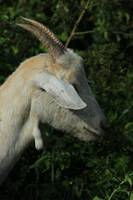 White Goat Chewing Leaves