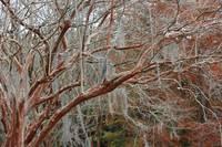 Winter Crepe Myrtles by Carol Groenen