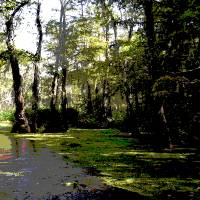 121215IM Digital Dry Brush Louisiana Swamp Art Prints & Posters by Garland Oldham