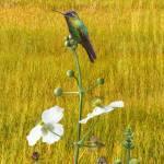 Hummingbird and Arrowhead Flowers