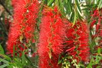 Red Bottlebrush Tree