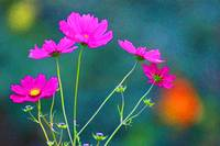 Bright Pink Cosmos Painted