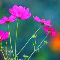 Bright Pink Cosmos Painted by Karen Adams