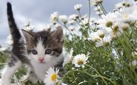 Tabby Kitten Marches Through The Daisy Field