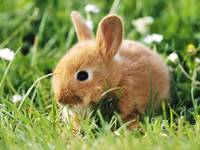 Light Brown Baby Bunny Rabbit