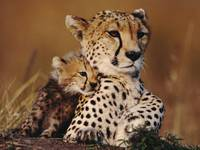 Cheetah Mom Cuddles Her Cub
