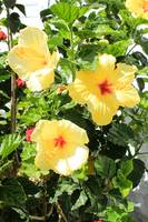 Yellow Hibiscus Flowers