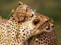 African Cheetah Hugs