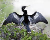 Anhinga Male Display #93