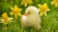 Yellow Chick, Yellow Daffodils