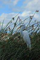 Great Egret in Reeds in a Marsh