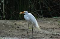 Great Egret on Sand