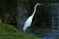 Great Egret Looking Over a Lake